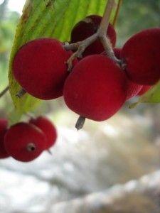 Veludo - fruto que se reveste de pelos. Árvore simples e pequena, que raramente alcança mais de 8 metros de altura. As folhas, de um verde pálido, são aveludadas. Docinho, porém de pouca polpa, são comidos avidamente pelas aves. Poucos se interessam pelo veludo, a não ser para utilização da madeira fácil de trabalhar de seu tronco curto e fino: os caules são tão finos que dobram sobre o próprio peso. Da família das Rubiáceas, o veludo é parente esquecido de um fruto muito famoso e cobiçado…