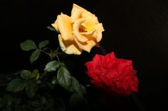 red and yellow rose photography