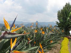 Piedra del Peñol with flowers, Colombia