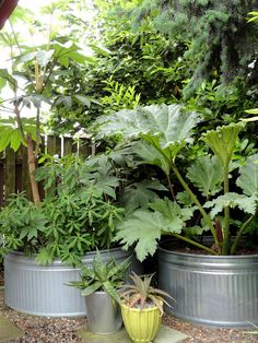 Tetrapanax and Gunnera --love the large aluminum planters Small Jungle Garden Ideas, Garden Ideas Uk, Garden Inspiration, Tropical Garden Design, Back Garden Design, Vegetable Garden Design, Tropical Plants Uk, Tropical Backyard, Backyard Landscaping