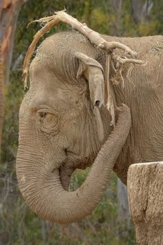 Sumithi's Groot cosplay leaves a bit to be desired. (pic by Deric Wagner).  #funny #animals #elephants #sdzoo