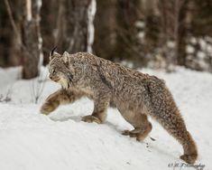 Lynx in Canada - Murray Kay (@mfkphotography.ca) on Instagram