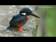 Indigo-banded Kingfisher - YouTube