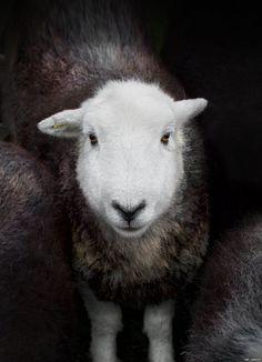 Photographs celebrate Lake District rare breed sheep