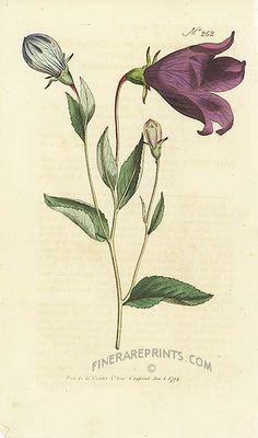 Antique print: picture of Great-flowered Bell Flower (Campanula grandiflora) - Siberia 1790s