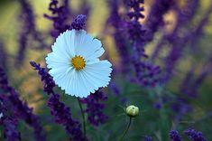 White and Lilacs - Beyaz ve Leylaklar