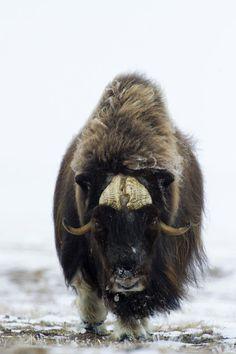 photo animalière : Boeuf musqué - Île de Banks - Canada
