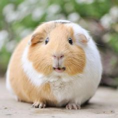 What a big smile! Happy Animals, Funny Animals, Cute Animals, Funny Animal Pictures, Cute Pictures, Guniea Pig, Beautiful Girl Drawing, Cute Guinea Pigs, Funny Hats