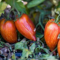 Tomato 'Maglia Rosa' Artisan Series Julienne Cherry Tomato
