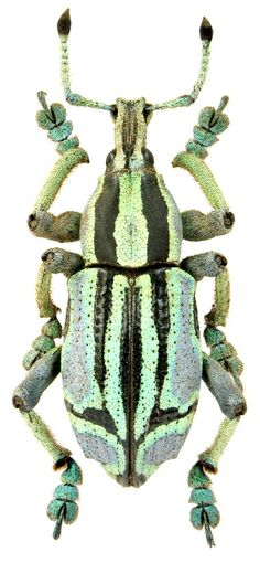 Eupholus benetti é uma espécie de escaravelho pertencente à família Curculionidae. Pode atingir um comprimento de cerca de 22-32 mm. Esta espécie bastante variável é geralmente azul ou verde, com duas faixas pretas longitudinais ao longo do pronoto e élitros. A parte superior das antenas é preta. O espécime foi fotografado na província de Morobe, em Papua Nova Guiné.