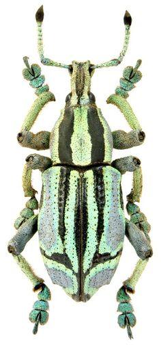 Beetle 18+