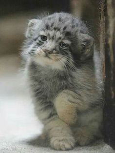 Cat Family - Don't Let The World Of Cats Confuse You. Read This Expert Advice Today! - Cat and Kittens Small Wild Cats, Big Cats, Cool Cats, Pretty Cats, Beautiful Cats, Animals Beautiful, Kittens Cutest, Cats And Kittens, Siamese Kittens