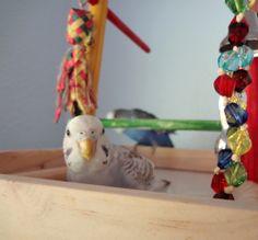 Lera joins the flock Budgie Toys, Budgies, Parakeet, Flocking, Parrot, Birds, Sweet, Parakeets, Parrot Bird