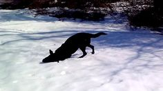 Watch This Adorable Black Labrador Having Fun Body Sliding Down A Snowy Hill.