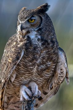 Gray Horned Owl by M beautiful amazing