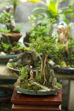 Bonsai Empire: Growing and caring for a Bonsai tree
