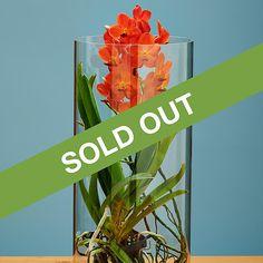 Orange Vanda Orchids | Rare Orange Vanda Orchid