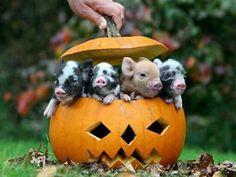 Baby pigs in a pumpkin