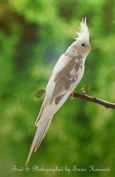 Cinnanmon pied Whiteface Cockatiel