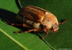 An adult summer chafer beetle (amphimallon solstitiale) Grubs, Beetle, Lawn, Summer, Animals, Animales, Beetles, Summer Time, Animaux