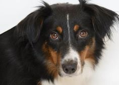 Adopt Bouncing Betty, a lovely 1 year 7 months Dog available for adoption at Petango.com. Bouncing Betty is a Australian Shepherd, Miniature and is available at the National Mill Dog Rescue in Colorado Springs, CO. milldogrescue.org...#rescue#adoptyourfriendtoday