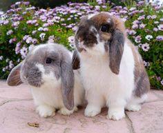 Two sweet Lops:)