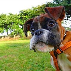 Boxer Dogs Up in the air! It's Super Boxer! Boxer Puppies, Dogs And Puppies, Doggies, I Love Dogs, Cute Dogs, Funny Animals, Cute Animals, Animals Dog, Boxer Love