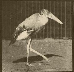 "elducko: "" Walking stork (1887), Eadweard Muybridge. """
