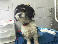 #A471717 Release date 8/30 I am a female, black and white Maltese mix. Shelter staff think I am about 9 months old. I have been at the shelter since Aug 24, 2014. http://www.petharbor.com/pet.asp?uaid=SBCT.A471717 For more information about this animal, call: San Bernardino City Animal Control at (909) 384-1304 https://www.facebook.com/photo.php?fbid=10203357346951980&set=a.10203202186593068&type=3&theater