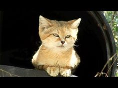Sand Cat [Video] -- Canyon is one of the smallest residents at Big Cat Rescue.