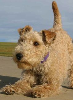 What my mut should look like! Not quite a pure lakeland but she's still got the cute lakeland face :')