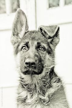 #GSD #pup