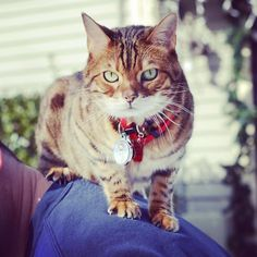 Brenna is being featured on Katzenworld today! Head on over to the blog to check it out! #ladybrennaoffairfax #brenna #katzenworld #katzenworldblog #cat #cats #catsofworld #catsofinstagram #catstagram #cats_of_instagram #bengalcat #bengal #bengalsofinstagram #snow #daddy #mommy #harness #outdoors #happycaturday #caturday #cold #winter #faithhopeloveandlucksurvivedespiteawhiskeredaccomplice