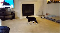 """4gifs: """" Even cats don't like Trump. [video] """""""