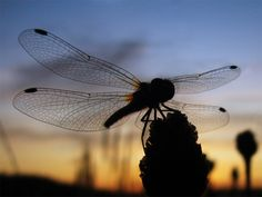 dragonfly silhouette #dragonfly