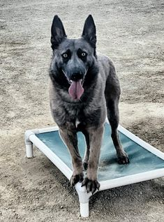 K9 Otto working on his obedience skills Malinois Puppies For Sale, Belgian Malinois Puppies, Wolfsbane, Dogs For Sale, Husky, Writing, Animals, Animales, Animaux