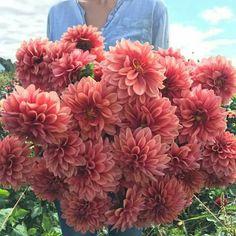 Mystique Dahlias--@ Floret Flower Farm on FB