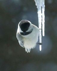 chilling on ice! by mikekas black-capped chickadee. One of my favorite birds! Pretty Birds, Love Birds, Beautiful Birds, Animals Beautiful, Beautiful Things, Funny Animals, Cute Animals, Baby Animals, Black Capped Chickadee