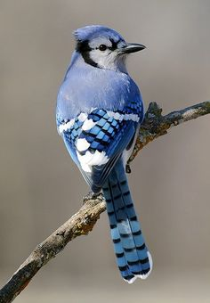 "Blue Jay - A flock of Blue Jays is called a ""party"" . In California we have Scrub Jays.  Not nearly as pretty."