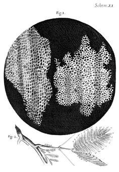 Hooke's cells (cork)