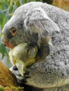 Koala Cuddling at Cleveland Metroparks Zoo Amor Animal, Mundo Animal, Animals And Pets, Baby Animals, Cute Animals, Baby Giraffes, Wild Animals, Beautiful Creatures, Animals Beautiful