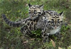 The almost-three-month-old Clouded Leopard sisters, Aiya and Shigu, born February 29 at Tampa's Lowry Park Zoo, are developing by leaps and bounds---literally! Check out ZooBorns to learn more and see more! http://www.zooborns.com/zooborns/2016/05/leaps-and-bounds-for-leap-year-leopard-cubs.html