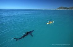 Look at this great white shark stalk a kayaker
