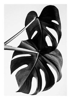 Black & white Monstera B&W two Poster in the group New in at Desenio AB Mode Poster, Plant Wall Decor, Plakat Design, Black And White Posters, Black And White Leaves, Black White, Plant Painting, Photo Wall Collage, Modern Art Prints