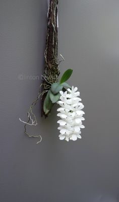 cactiandthings: orchiddynasty: Aerangis James G. cactiandthings: orchiddynasty: Aerangis James G. Indoor Orchids, Orchids Garden, Orchid Plants, Unusual Plants, Exotic Plants, Cool Plants, Ikebana Flower Arrangement, Orchid Arrangements, Rare Orchids