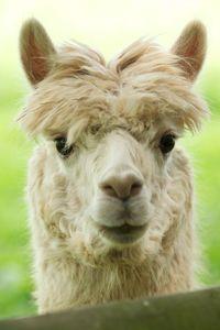 Alpaca and llama care