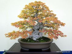 Taikan-Ten 2013, Deciduous Part 2 | Nichigo Bonsai
