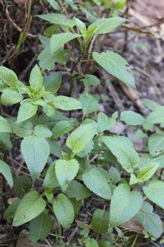Picão_preto (19) Plants, Garden, Leaves, Bush, Plant Leaves, Shrubs, Jardim