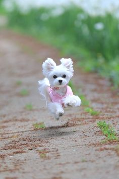 500 White Puppies Images In 2020 Puppies Maltese Puppy Maltese Dogs
