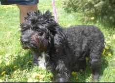 Eleven-Adoption Pending is an adoptable Cockapoo Dog in Toronto, ON. Due to a high number of applicants, I am no longer available. I am going to be adopted shortly. Thank you for visiting me! ------...